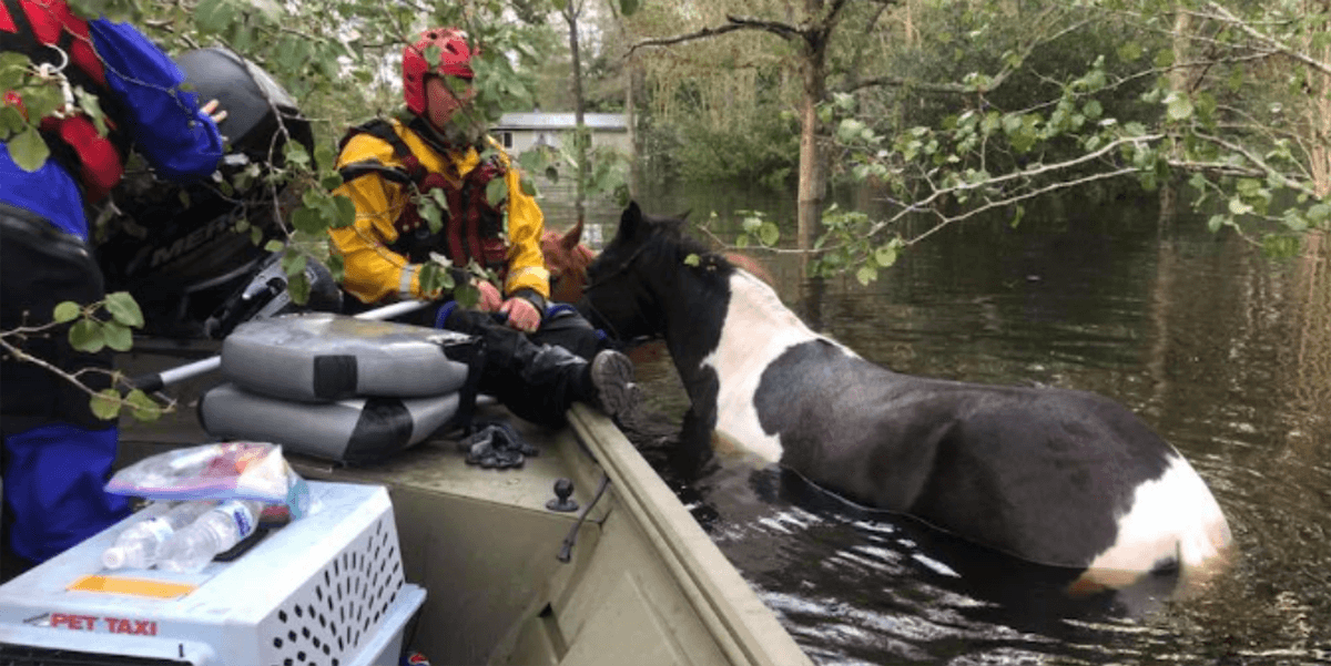 horse boat rescue during flood